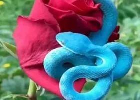 নীল সাপ